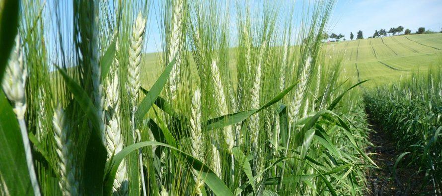Grano duro, Barilla rilancia il contratto di coltivazione per 3 anni con prezzo minimo e premio proteine
