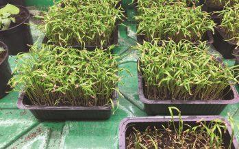 Verdure in miniatura: la nuova moda degli chef è un'opportunità di reddito per gli agricoltori