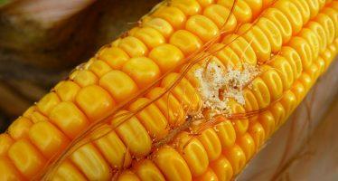 Mais: evitare stress, combattere la piralide e usare il sistema biologico del ceppo AF-X1 contro le aflatossine