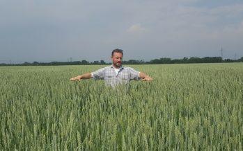 Frumento foraggero Ludwig: l'alternativa economica al silomais per l'allevamento da latte di alta qualità