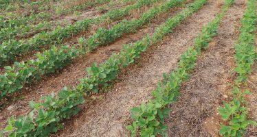 Boom della soia non ogm in Italia: superati i 400 mila ettari e i 40 euro/quintale