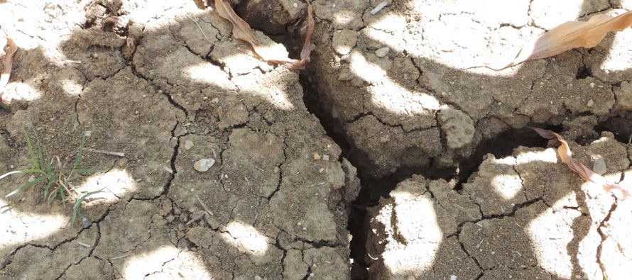 Agricoltura e siccità: sorgo e girasole soffrono, mais e bietola sono già in crisi