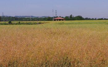 Agricoltura, nove ibridi di colza che garantiscono buone rese