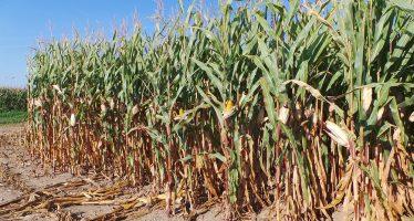 Che bel mais con piante ancora verdi su minima e strip-till nel Pag dell'azienda Cavazzini