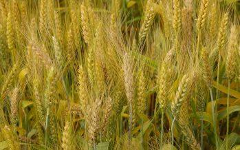 Grano duro, agricoltori contro industriali: è ora di finirla (e di cominciare a collaborare)