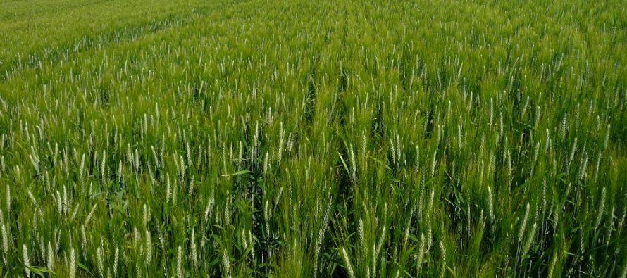 Come coltivare il frumento biologico: dall'apporto di azoto alla difesa da infestanti e attacchi fungini