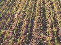 Diserbo cereali a paglia: un nuovo prodotto a basso dosaggio efficace contro le infestanti resistenti