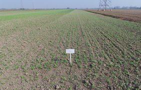 Aumentare la sostanza organica con le cover crops: il progetto Coprob e CarlaImport per le aree bieticole