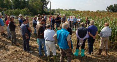 Sempre più sorgo da foraggio in pianura padana: aumenta la fiducia degli agricoltori in questa coltura
