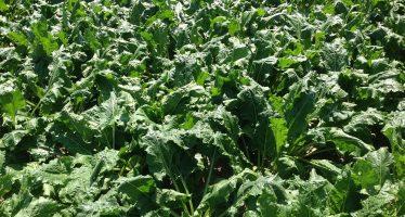 Bietola 2017: saccarosio oltre le 10 tonnellate/ettaro e utili di 900 euro per gli agricoltori