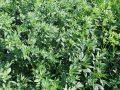 L'erba medica offre un reddito molto interessante ed è sempre più strategica per le aziende agricole