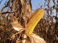 Il mais ogm non è pericoloso per la salute: è il verdetto di 21 anni di ricerche