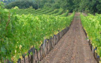 Ecco le viti che resistono alla peronospora e all'oidio senza usare antiparassitari