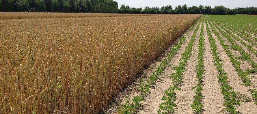 Diversificazione colture, Efa e azotofissatrici: un esempio pratico per chiarire i dubbi degli agricoltori