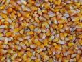 L'Italia non semina abbastanza mais: a rischio mezzo miliardo di euro di export