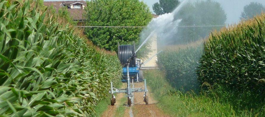 Come irrigare il mais per ottenere reddito e qualità: quattro sistemi a confronto
