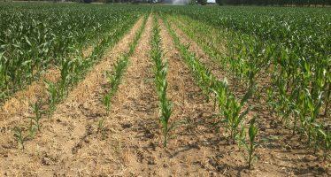 Ecco cosa succede se si perde il segnale GPS seminando il mais su terreno lavorato a strip-till