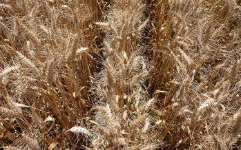 Agricoltura, 4 buone ragioni per credere nel grano duro (dopo un'annata da dimenticare)