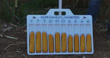 Mais: con la semina a dose variabile si producono 13 quintali/ettaro in più
