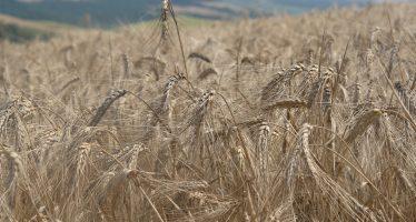 Semine autunnali orzo 2018: le varietà più produttive