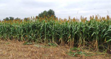 Sorgo: una pianta rustica, versatile e adatta ad aree non irrigue (e costa meno del mais)