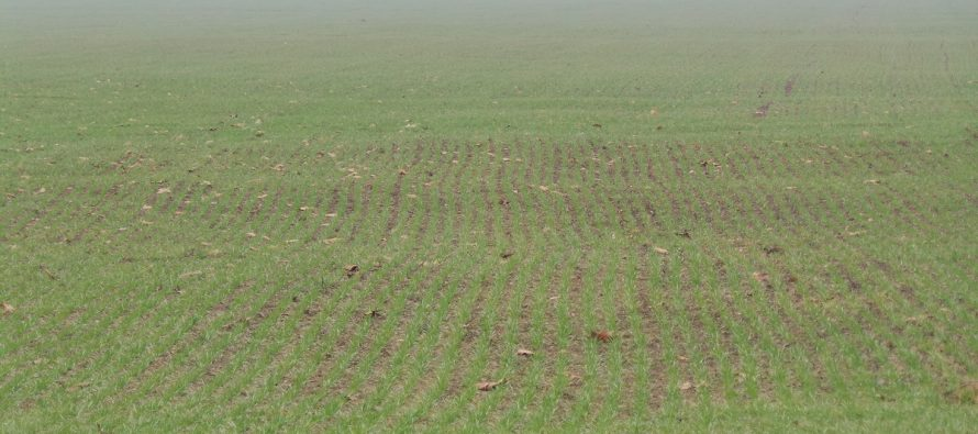 Grano duro, le varietà più produttive per le prossime semine