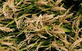 Riso Selenio biologico, ottima produzione con la subirrigazione a manichetta