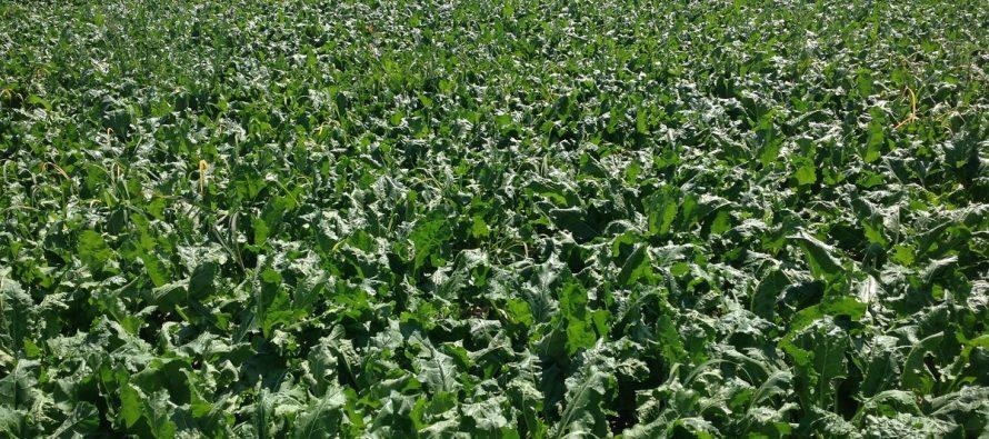 Barilla e Ferrero sempre più interessati allo zucchero bio, Coprob punta a 1300 ettari nel 2019