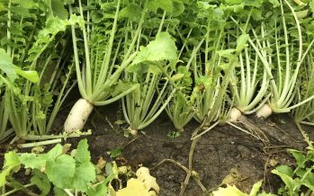 Tillage Radish, il rafano che prepara il terreno per la semina di bietola e mais