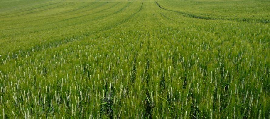 Frumento: concimazione e diserbi mirati per ricavare il massimo reddito dalla filiera