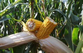 Agricoltura, come concimare il mais per avere alte produzioni e qualità