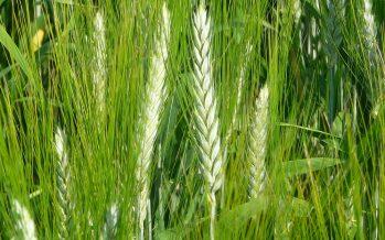 Frumento di qualità: come difendere foglia e spiga dagli attacchi fungini