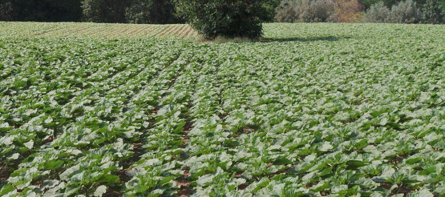 Girasole biologico a contratto, una soluzione agronomica con buone rese e prezzi elevati