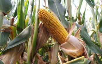 I biostimolanti riducono gli stress e aumentano la produzione di mais e soia