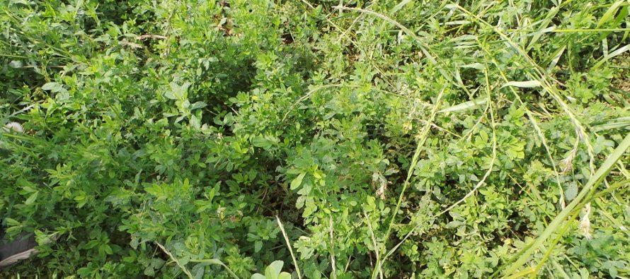 Erba medica seminata su sodo a fine agosto per contrastare il cambiamento climatico