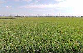 Con l'irrigazione strutturante, mais in gran forma in un'annata difficile