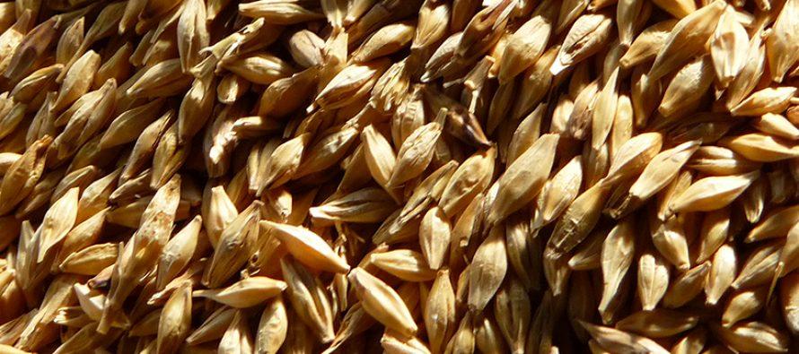 Frumento tenero, le varietà su cui puntare per migliorare le rese
