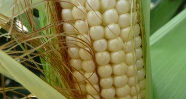 La Lombardia vuole sperimentare le colture NBT perché sono diverse dagli OGM