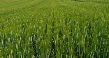 Frumento, l'occhio del satellite per monitorare i trattamenti fungicidi