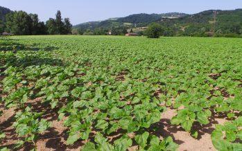 Girasole, gli ibridi su cui puntare per le prossime semine