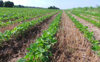 Nuovo decreto agricoltura: 100 euro/ettaro per mais, soia e legumi con contratti di coltivazione