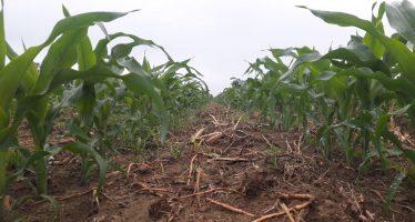 635 euro è il costo di un ettaro di mais, ma solo con l'innovazione mirata