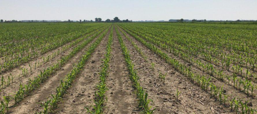 Come sta il mais su aratura e minima? La risposta viene dal satellite