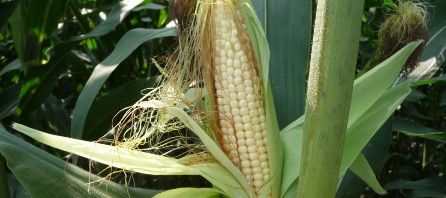 Nuova genetica e digitale, le basi per l'agricoltura di domani