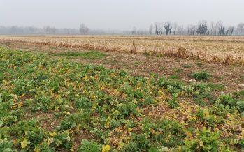 Colture di copertura, una scelta mirata in base agli obiettivi agronomici