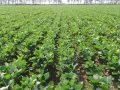 Nuovo Fondo filiere per mais, soia e legumi: domande dal 1° al 16 ottobre
