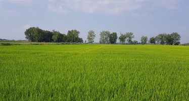 Che spettacolo il riso Meracinque con la semina a dose variabile