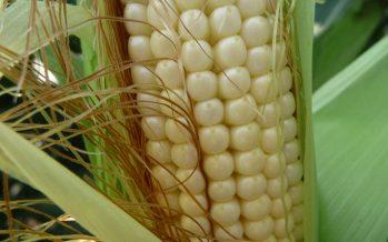Se l'Europa vuole un'agricoltura sostenibile e produttiva, deve togliere i vincoli alla nuova genetica