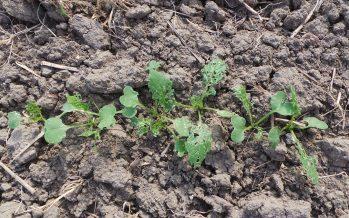 Letto di semina su terreni argillosi: se si applica la minima lavorazione, occorre flessibilità nelle decisioni