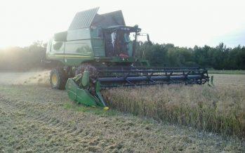 Miglio e grano saraceno, un buon reddito dalle colture alternative in filiera